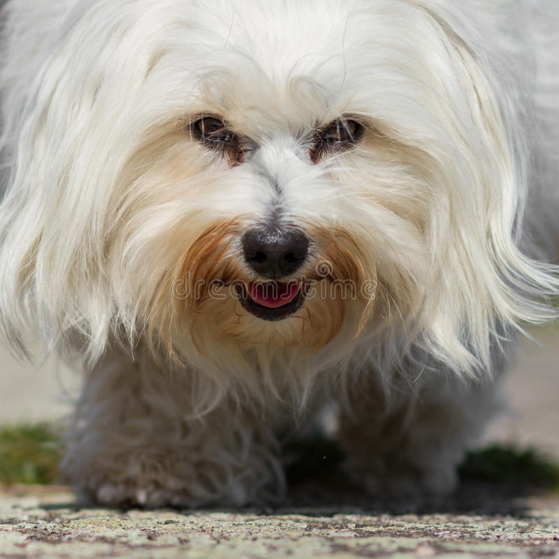 At eye level. The photographer at the same height as a small white Havanese, wide angle directly from the frog perspective stock images