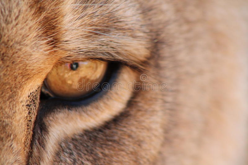 Eye of the Lion. Close up on a lions eye in South Africa royalty free stock photo