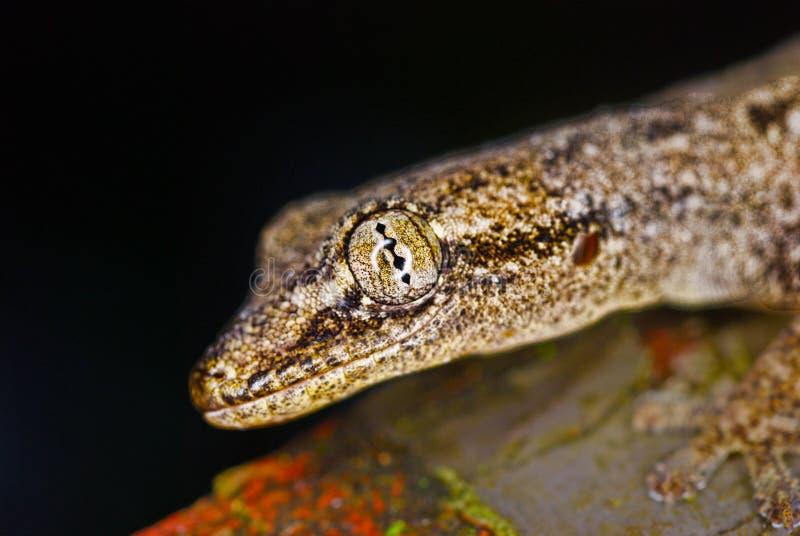 The Eye Of The Lizard Stock Photos