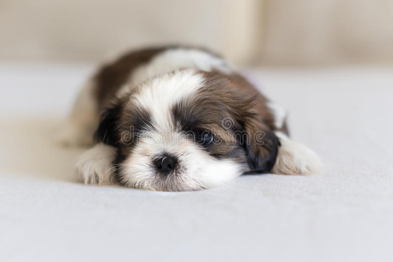 Eye and nose of little shih-tzu puppy. Eye and nose of little furry shih-tzu puppy royalty free stock photography