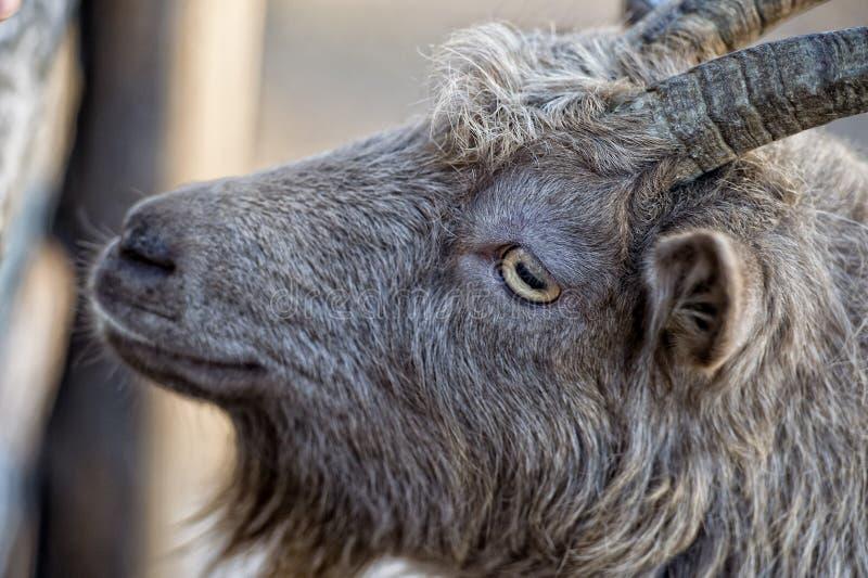 Eye o detalhe de carneiros da cabra de Brown ao olhá-lo imagens de stock