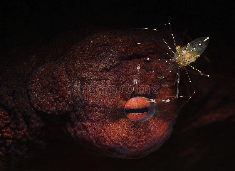 Eye of octopus with cleaning shrimp royalty free stock images