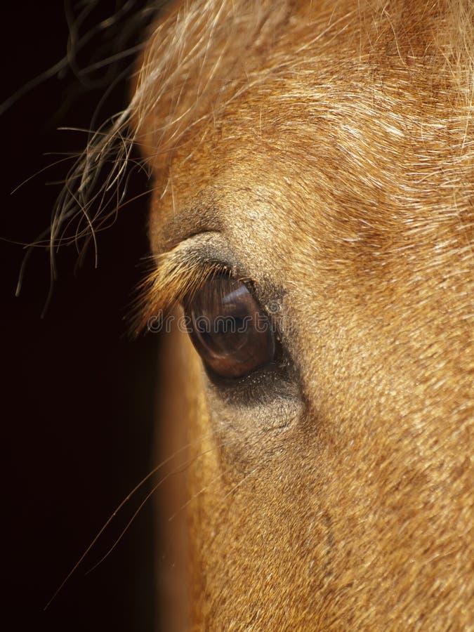 Free Eye Of Palomino Horse Closeup Royalty Free Stock Image - 24221726