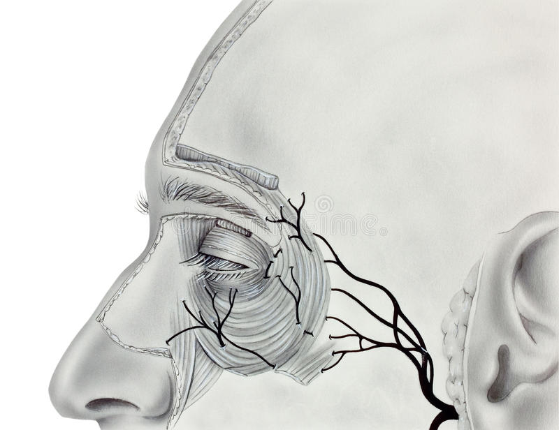 Eye - Proximal Muscles and Nerves. Muscles and Nerves near the human eye, showing the orbicularis muscle, levator palpebrae superioris muscle, and branches of royalty free stock photos