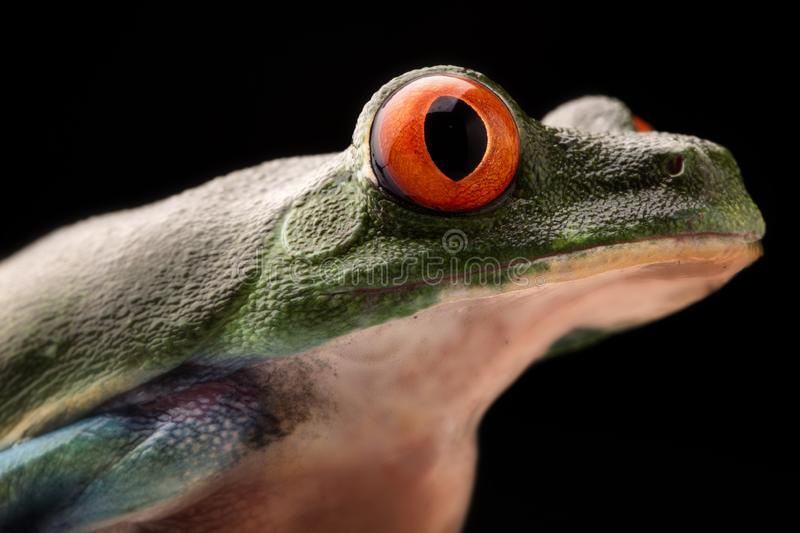 Eye of the red eyed tree frog royalty free stock photography