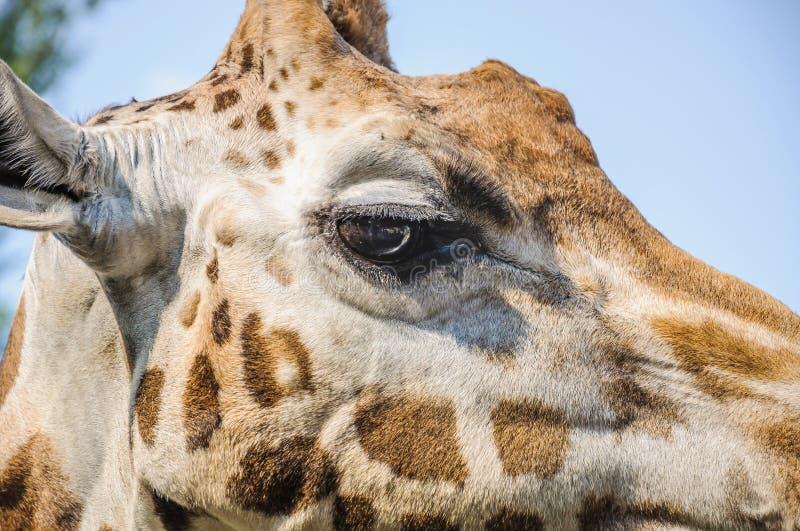 Eye of the Rothschild`s giraffe. Giraffa camelopardis rothschildi closeup royalty free stock images