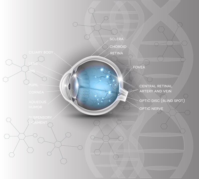 Eye scientific DNA background. Normal eye anatomy scientific DNA background royalty free illustration
