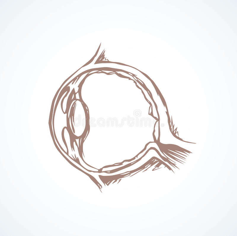 Eye section. Vector drawing. Healthy people visual system part on white background. Outline black ink hand drawn picture icon diagram sketch in scribble graphic royalty free illustration