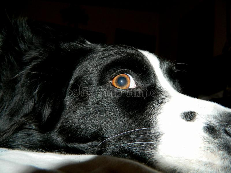 Eye see you looking at me. A beautiful Border Collie dog, looking at the camera with her bright brown eye stock images