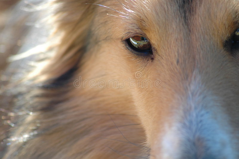 Eye of a Sheltie. The eye of a Minature Sheltie Dog. Known as Lassie dogs or Shetlands stock photos