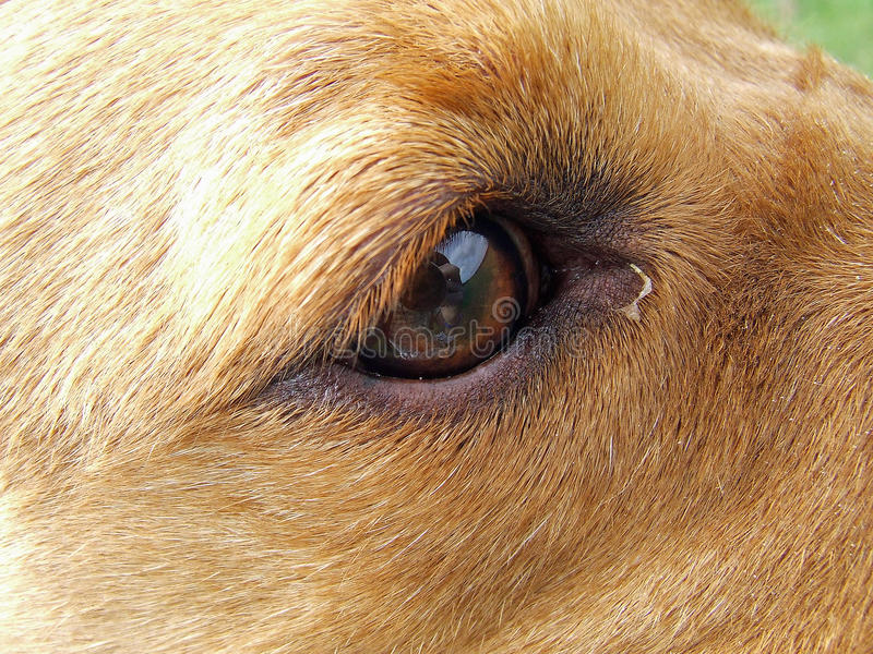 Download Eye shot of a Labrador dog stock photo. Image of close - 44729728