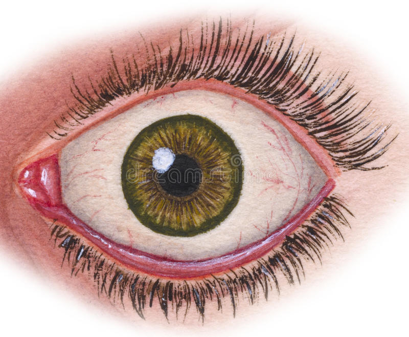 Eye In Situ. Human eyeball showing the iris, tear duct, lashes, retina, eye lid etc stock illustration