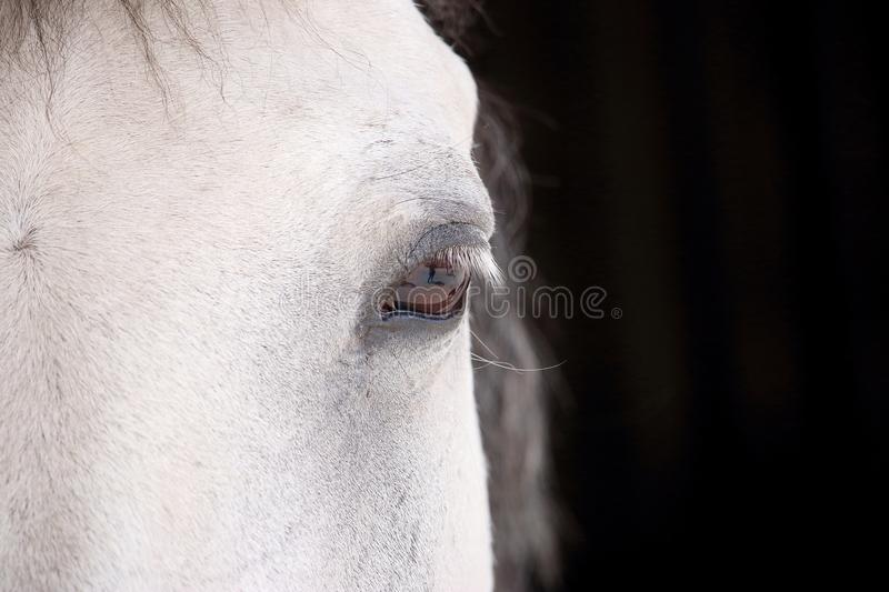 Eye of a spotted white horse looking at us in front of the stables royalty free stock photography