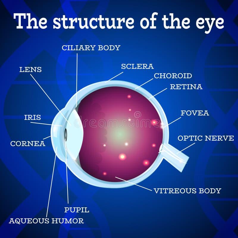 Eye structure blue. Human eye anatomy structure.Medical manual for ophthalmology clinic,vector illustration.Iris,pupil,lens,nerve,macula,retina,cornea on blue royalty free illustration