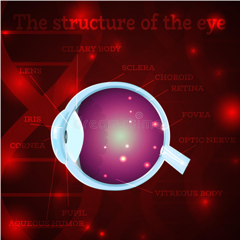 Eye structure red. Human eye anatomy structure.Medical manual for ophthalmology clinic,vector illustration.Iris,pupil,lens,nerve,macula,retina,cornea on red dna stock illustration