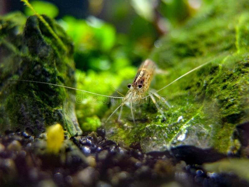 Eye to eye with an amano shrimp. These little guys are cleaning powerhouses, completely clearing an algae filled tank i had in a fortnight with no adverse side royalty free stock photography