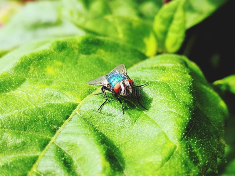 Eye to eye with a greenfly. Sitting on a green leaf. Insect, nature, macro, focus, foreground, outdoor, small, tiny, red, shiny, shimmering royalty free stock photos