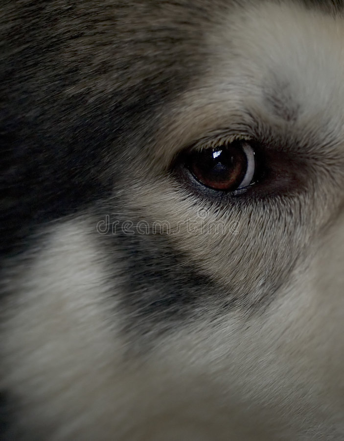 Eye of the Wolf royalty free stock photo