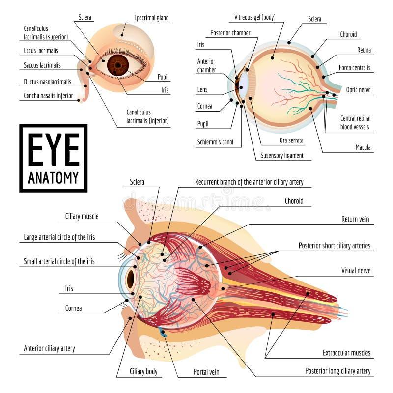 Eyeball infographic, cartoon style. Eyeball infographic. Cartoon of eyeball vector infographic for web design stock illustration