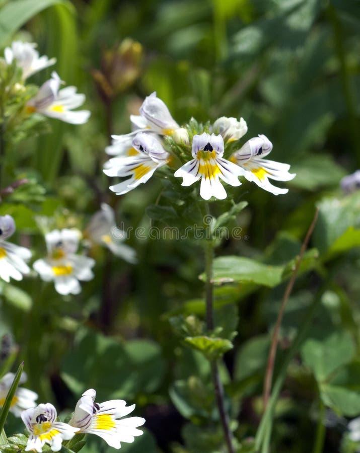 Eyebright; Euphrasia; rostkoviana; stock photos