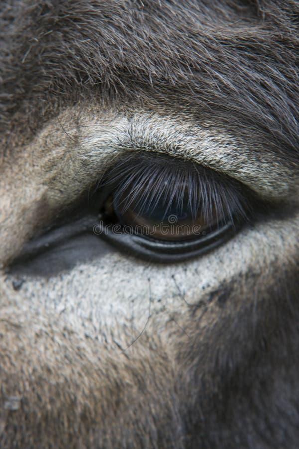 Eyebrows of a white donkey eye closeup royalty free stock photos