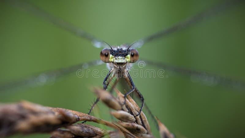 Eyecontact med en damselfly, nära arkivbilder