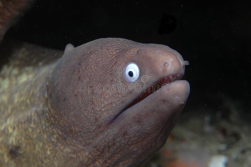 eyed белизна moray стоковое изображение