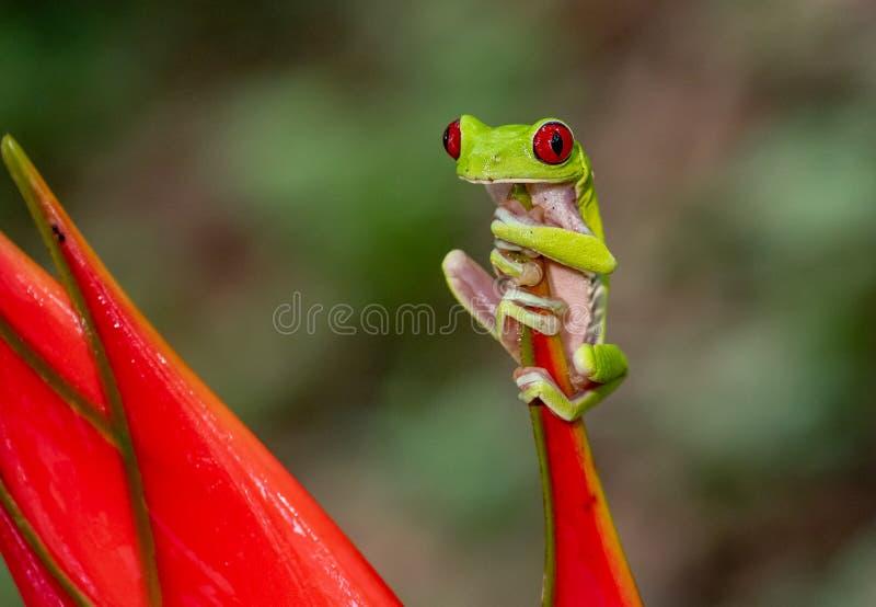 eyed вал красного цвета лягушки стоковое фото rf