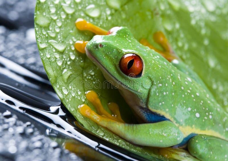 eyed красный цвет листьев лягушки стоковая фотография