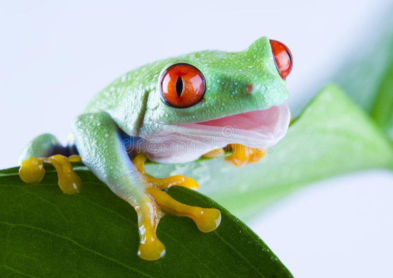 eyed красный цвет лягушки стоковая фотография rf