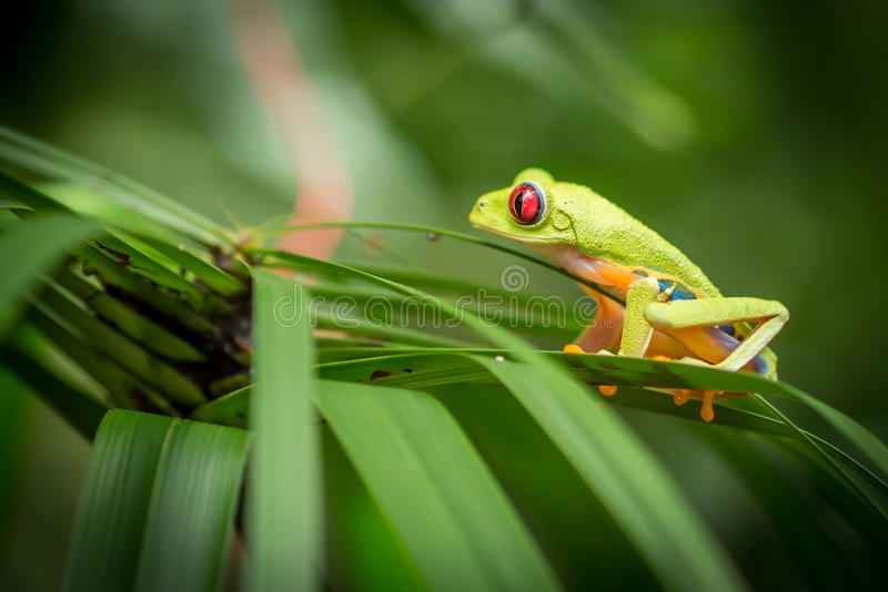 Eyed красным цветом зеленая лягушка дерева стоковые изображения