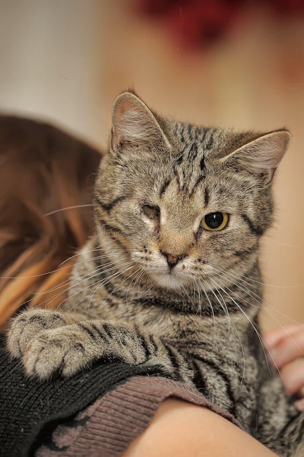 Eyed gehandicapten van de gestreepte katkat redden dierentuinverdedigers bij de handen van een vrouw in een schuilplaats voor dak royalty-vrije stock foto's