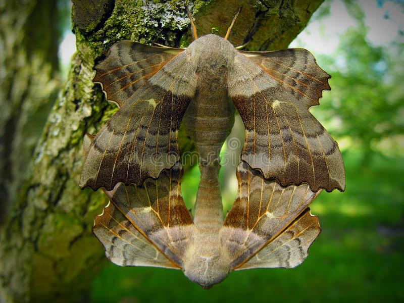 Eyed hawk-moth. stock image