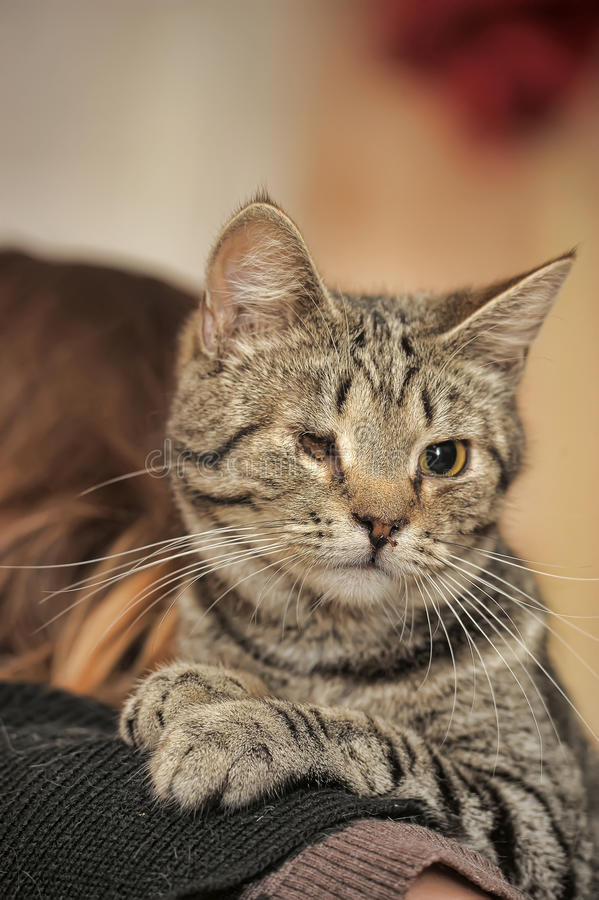 Eyed tabby cat disabled rescued zoo defenders at the hands of a woman in a shelter for homeless animals. Waiting for new owners stock image