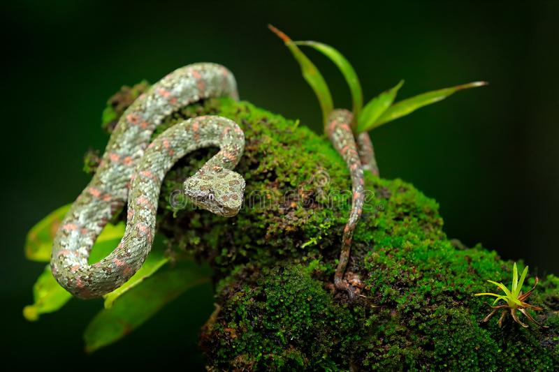 Eyelash Palm Pitviper, Bothriechis schlegeli, on the green moss branch. Venomous snake in the nature habitat. Poisonous animal fro. M South America. Dangerous royalty free stock image