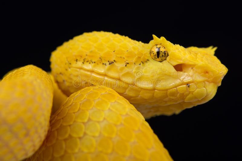 Eyelash viper Bothriechis schlegelii. The Eyelash viper Bothriechis schlegelii is actually a well camouflaged tree viper species found in Central America royalty free stock photography