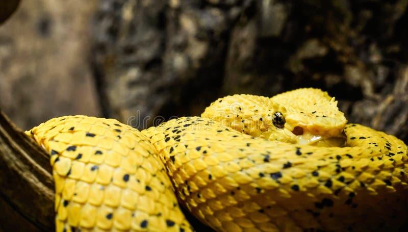 Eyelash viper. Close up of an eyelash viper royalty free stock images