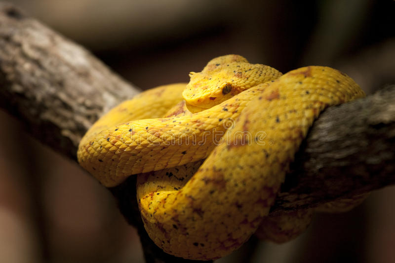 Eyelash viper in Costa Rica. Eyelash Viper (Bothriechis schlegelii) has hornlike scales over each eye. Poisonous royalty free stock images