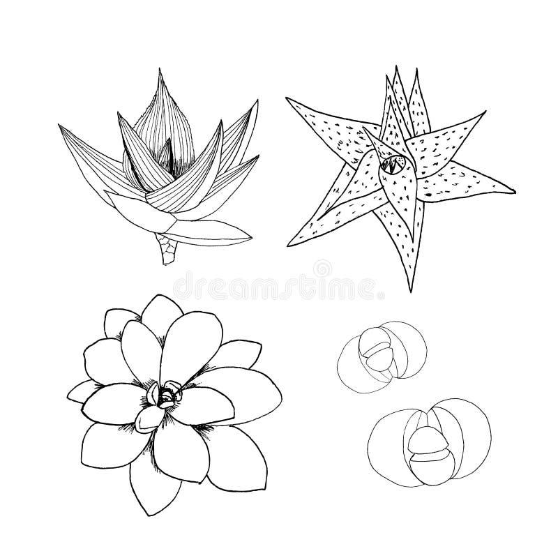 Eyelineruppsättning av suckulenter Räcka utdragen botanisk konst som isoleras på vit bakgrund Samling för kaktus för ökenväxter A stock illustrationer