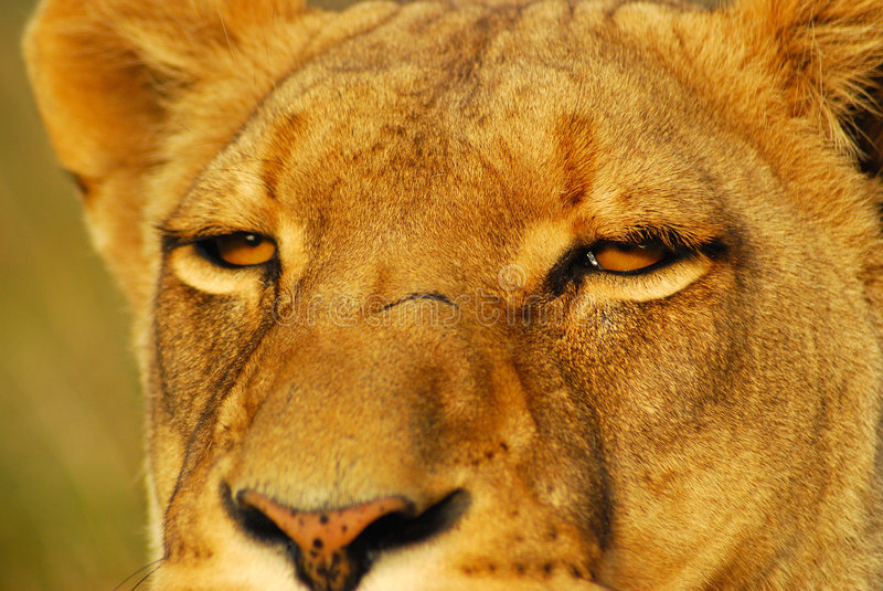 eyes львев стоковое фото rf