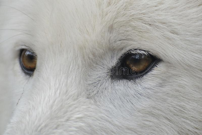 Eyes of a Arctic wolf ( canis lupus arctos ) royalty free stock image