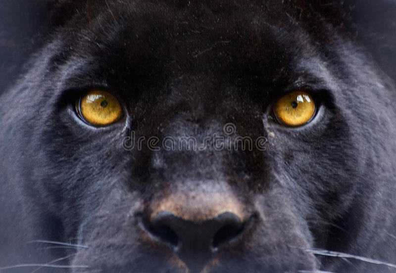 The eyes of a black panther royalty free stock images