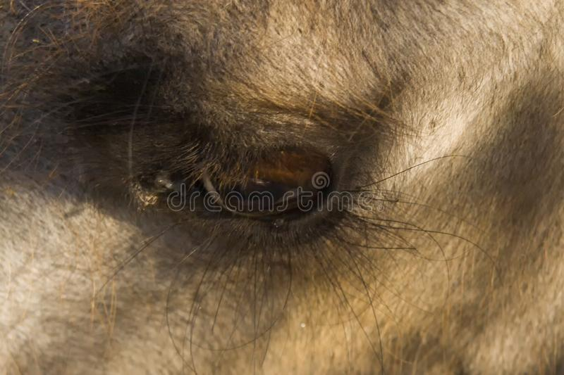 Eyes of camel. Close-up, macro photo. Used informally, camel or, more correctly, camelid refers to any of the seven members of th. E family Camelidae, the stock images