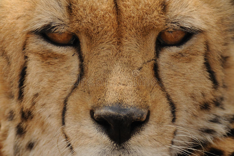 Eyes of a Cheetah. You are looking in the eyes of the fastest land animal of the world stock image
