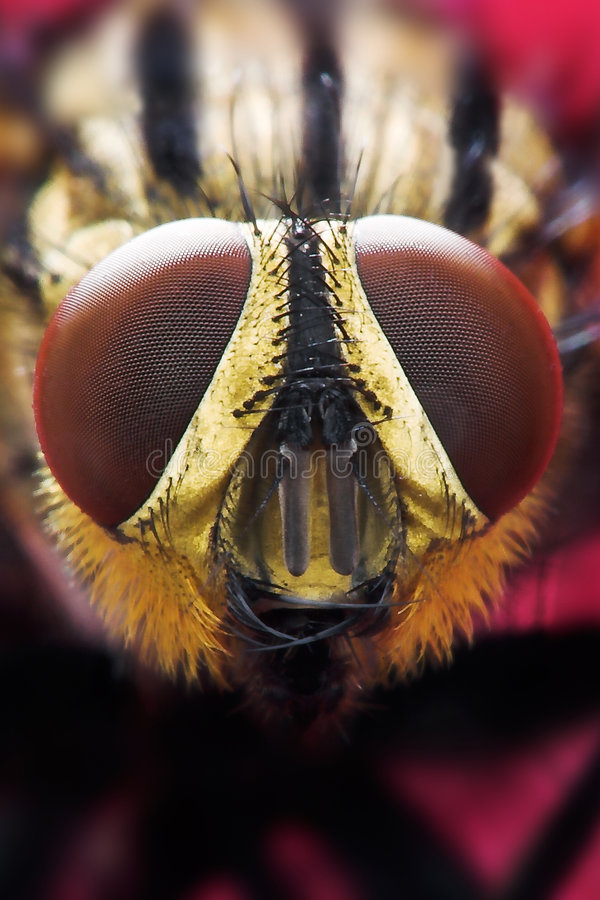 Eyes of a fly stock photography