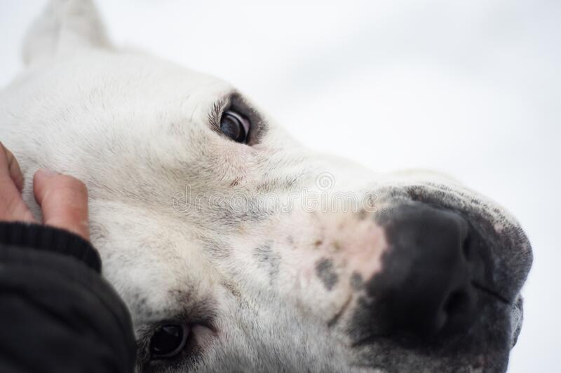 Eyes full of dogs` love. Dog is looking deep into your eyes with look full of love in winter background. Dogo Argentino is the best dog stock image