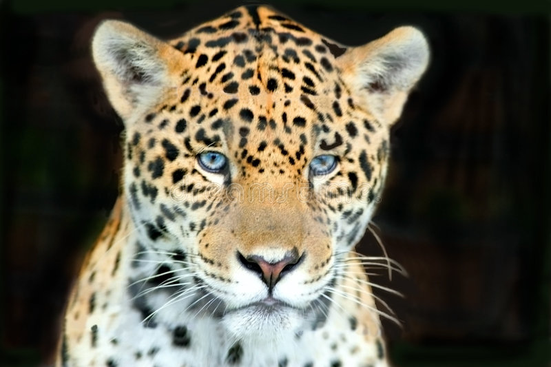 Download The eyes of  a hunter stock image. Image of predator, images - 472805
