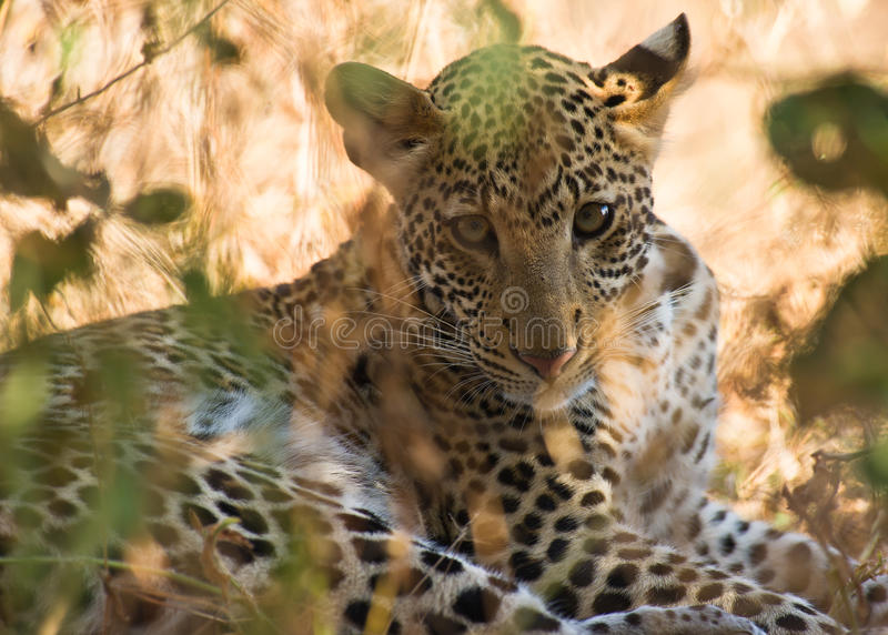 The eyes of the leopard stock photo