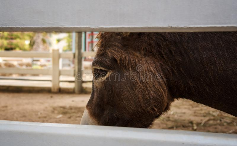 In the eyes of the little horse that seem to is sad and troubled. In the eyes of the little horse that seem to is sad and grief. We can know from the eyes of royalty free stock photos
