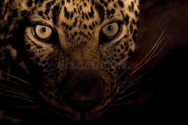Eyes of the Night. Male Leopard photographed at night, Sabi Sands Private Game Reserve, South Africa royalty free stock images